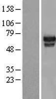 NBL1-11608 - HMG2L1 Lysate