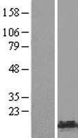 NBL1-11609 - HMGA1 Lysate