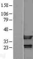 NBL1-11614 - HMGB1 Lysate