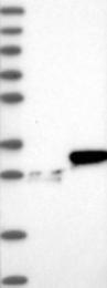 NBP1-81731 - HMGB2 / HMG2
