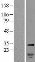 NBL1-11615 - HMGB2 Lysate