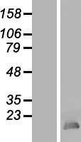 NBL1-11616 - HMGB4 Lysate