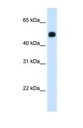 NBP1-54995 - mHMG-CoA synthase / HMGCS2