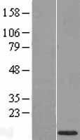 NBL1-11621 - HMGN4 Lysate