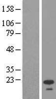 NBL1-11626 - HMP19 Lysate