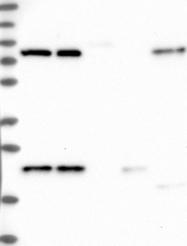 NBP1-88445 - HN1L