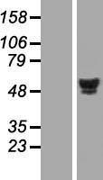 NBL1-11632 - HNF4 alpha Lysate