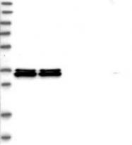 NBP1-83240 - hnRNP-A0 / HNRPA0
