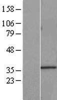 NBL1-11634 - HNRNPA0 Lysate
