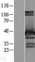 NBL1-11656 - HOMER2 Lysate
