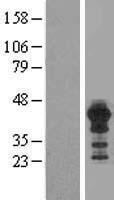 NBL1-11657 - HOMER3 Lysate