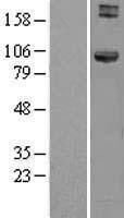 NBL1-11658 - HOOK1 Lysate
