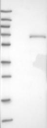 NBP1-83234 - HOXA3 / HOX1E