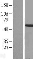 NBL1-11667 - HOXA3 Lysate