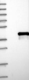 NBP1-83235 - HOXA5 / HOX1C