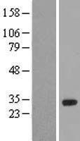 NBL1-11669 - HOXA6 Lysate