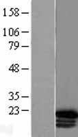 NBL1-11679 - HOXC6 Lysate