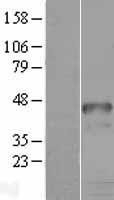 NBL1-11685 - HOXD9 Lysate