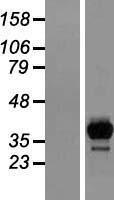 NBL1-11434 - HPCL Lysate