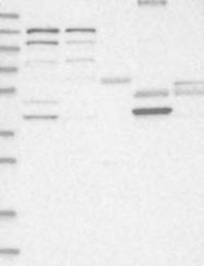 NBP1-89365 - HPDL / GLOXD1
