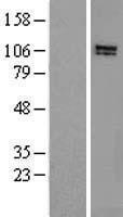 NBL1-11697 - HPS3 Lysate