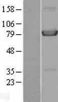 NBL1-11698 - HPS4 Lysate