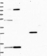 NBP1-92008 - TRMT112
