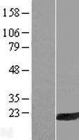 NBL1-11704 - HRASLS3 Lysate