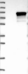 NBP1-89667 - SYVN1