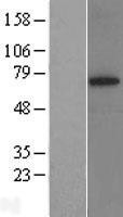 NBL1-16659 - SYVN1 Lysate