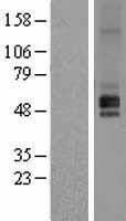 NBL1-11708 - HRH1 Lysate