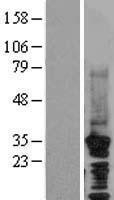 NBL1-09015 - HRPT2 Lysate