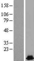 NBL1-11710 - HRSP12 Lysate