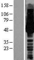 NBL1-11711 - HS1BP3 Lysate