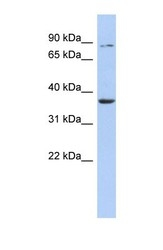 NBP1-58058 - HS3ST1 / 3OST