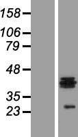 NBL1-11713 - HS3ST1 Lysate