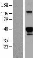 NBL1-11714 - HS3ST2 Lysate