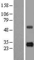 NBL1-11717 - HSCB Lysate