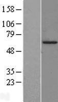 NBL1-11737 - HSF2 Lysate