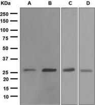 NBP1-95749 - HSPB1 / HSP27