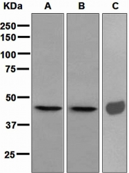NBP1-95417 - SERPINH1 / HSP47