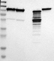 NBP1-81802 - Endoplasmin / HSP90B1 / TRA1