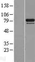 NBL1-11747 - HSPA12B Lysate