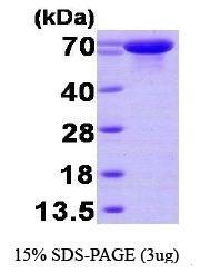 NBP1-30291 - HSPA6