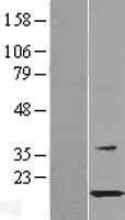 NBL1-11758 - HSPB11 Lysate
