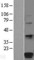NBL1-14600 - HSPC014 Lysate