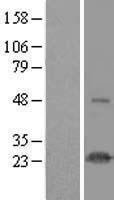 NBL1-11764 - HSPC111 Lysate