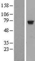 NBL1-11772 - HTF9C Lysate