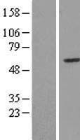NBL1-12247 - HUCE1 Lysate
