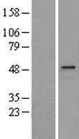 NBL1-11791 - HYAL1 Lysate